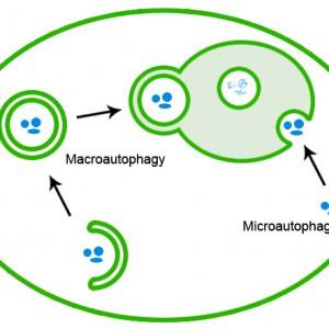 macro-micro-autophagy